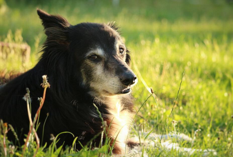 Gerade neugierige Hunde, wie ein Border Collie, stibitzen schnell eine Packung Xylit-Kaugummi vom Tisch, wenn sie dort unbewacht rum liegt (Foto: Pixabay).